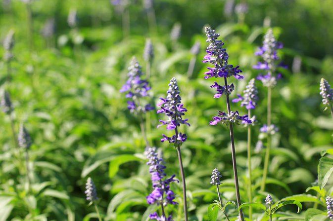 lavender-502263274.jpg